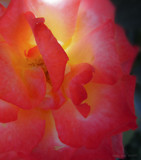 Light Within the Rose by nmsmith, photography->flowers gallery