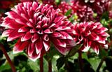 Dahlia 2 by trixxie17, photography->flowers gallery