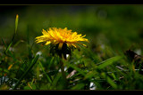 Dandelion by JQ, Photography->Flowers gallery
