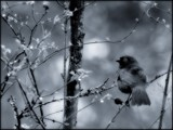 A Beautiful Song by mayne, Photography->Birds gallery