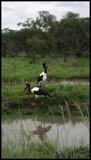 Saddle-Billed Stork by SusanVenter, photography->birds gallery