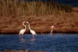 Flamingo kiss by elektronist, photography->birds gallery
