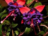 Fuchsia Foto by rawtsn, Photography->Flowers gallery