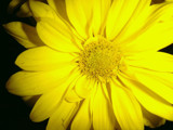 Yellow Flower by ohpampered1, Photography->Flowers gallery