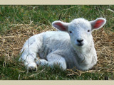 Baa ! by LynEve, photography->animals gallery