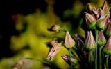 Bulgarian Garlic by Pixleslie, Photography->Flowers gallery