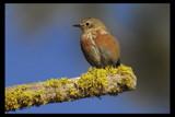 Western Bluebird by garrettparkinson, photography->birds gallery
