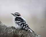 The Downy Woodpecker by tigger3, photography->birds gallery
