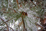 Snowy Seedlings by kidder, Holidays->Christmas gallery