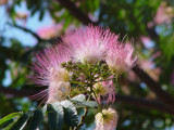 Bottle Brush by cctruckee, Photography->Flowers gallery