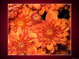 Anaranjado by Hottrockin, Photography->Flowers gallery