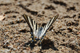 Scarce Swallowtail by flaston, Photography->Butterflies gallery