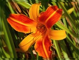 Orange Foofy for JB by trixxie17, photography->flowers gallery