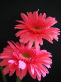 Gerbera 2 by juighate, Photography->Flowers gallery