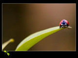 Coccinellidae by kodo34, Photography->Insects/Spiders gallery