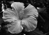 """Yellow Hibiscus in B/W"" by icedancer, contests->b/w challenge gallery"