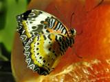 butterflies like citrus by jeenie11, Photography->Butterflies gallery