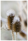 Teasel Crowned with Frost by theradman, Photography->Nature gallery