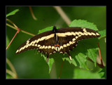 Giant Swallowtail by gerryp, Photography->Butterflies gallery