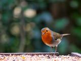Robin #2 by braces, Photography->Birds gallery