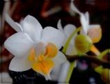 Cymbidium by trixxie17, photography->flowers gallery