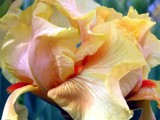 The Charming Iris! by marilynjane, Photography->Flowers gallery
