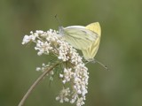 Cabbage Butterfly (Pieris napi) by cameraatje, photography->butterflies gallery