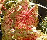 """Miss Muffet"" Caladium by trixxie17, photography->nature gallery"