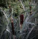 Cat tails #2 by GIGIBL, photography->nature gallery