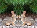Bunny Love by Hottrockin, Photography->Manipulation gallery