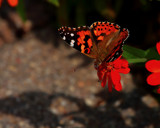 Butterfly Perspective by tigger3, photography->butterflies gallery