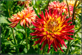 Dahlia Show 42 by corngrowth, photography->flowers gallery