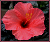 Hibiscus by trixxie17, photography->flowers gallery