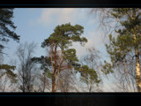 Evergreen Pine by OBEY, Photography->Nature gallery