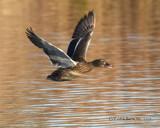 Looking Ducky by garrettparkinson, photography->birds gallery