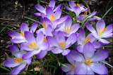 Spring Crocus by LynEve, photography->flowers gallery
