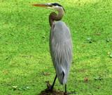 Great blue heron. by GomekFlorida, photography->birds gallery