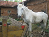 White horse by vanya, photography->animals gallery