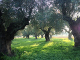 Olive trees ... by Vickid, photography->nature gallery
