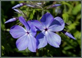 Phlox by trixxie17, photography->flowers gallery