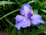 Spiderwort After a Rain by Pistos, photography->flowers gallery