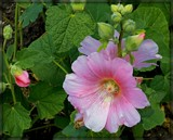 Hollyhock by trixxie17, photography->flowers gallery