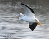 Banking on a White Pelican by garrettparkinson, photography->birds gallery