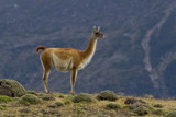 guanaco by jeenie11, photography->animals gallery