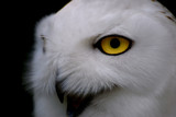 Snowy Owl by mlor, photography->birds gallery