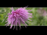 Soft Thistle by Dehli, Photography->Flowers gallery