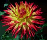 Dahlia Seedling by trixxie17, Photography->Flowers gallery