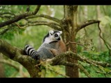 Ring Tailed Lemur by Homtail, photography->animals gallery