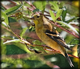 Garden Visitor_The American Goldfinch by tigger3, photography->manipulation gallery