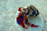 Just  a  Hermit crab by tweezer, Photography->Reptiles/amphibians gallery